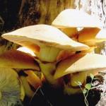 Gymnopilus junonius 1 OK 150x150 Грибочки Кавказа