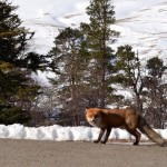 fox 4 150x150 Зима на плато Лаго Наки