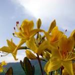 02 150x150 Горные цветы Кавказского заповедника