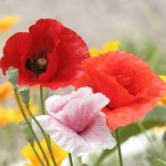 0 47c72 c98eb1a3 L 150x150 Горные цветы Кавказского заповедника