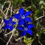 0 7f5b9 915ccf8 XL 150x150 Горные цветы Кавказского заповедника