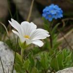 0 80f1e b541467a XL 150x150 Горные цветы Кавказского заповедника