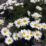 0 842a8 2eec7dd7 XL 150x150 Горные цветы Кавказского заповедника