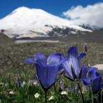 0 8660b bcede496 XL 150x150 Горные цветы Кавказского заповедника