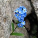 0 90a6c 6c1ba803 XL 150x150 Горные цветы Кавказского заповедника
