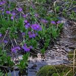 0 91bcb 452d7fd7 XL 150x150 Горные цветы Кавказского заповедника
