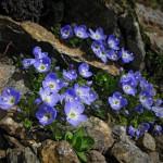 0 9d172 ed27ca62 XL 150x150 Горные цветы Кавказского заповедника