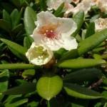 108786 image large 150x150 Горные цветы Кавказского заповедника