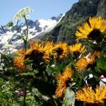 11658322 150x150 Горные цветы Кавказского заповедника