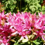 11658354 150x150 Горные цветы Кавказского заповедника