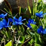 11658400 150x150 Горные цветы Кавказского заповедника