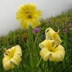 11658438 150x150 Горные цветы Кавказского заповедника