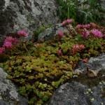 11658697 150x150 Горные цветы Кавказского заповедника