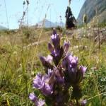 11658768 150x150 Горные цветы Кавказского заповедника