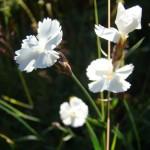 11658782 150x150 Горные цветы Кавказского заповедника