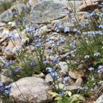 11658958 150x150 Горные цветы Кавказского заповедника