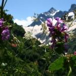 11658998 150x150 Горные цветы Кавказского заповедника