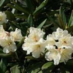 11659250 150x150 Горные цветы Кавказского заповедника
