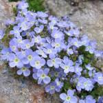 1271230560 1271065987 mountine flowers 13 150x150 Горные цветы Кавказского заповедника
