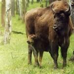 1314260119 2584 150x150 Животные Кавказского заповедника