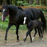 1322336407 loshad karacaevskaya 150x150 Животные Кавказского заповедника