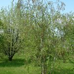 220px Betula raddeana RB1 150x150 Эндемики Кавказа и Кавказского заповедника