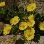 27476236 1 150x150 Горные цветы Кавказского заповедника