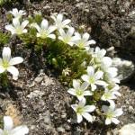 27476314 flower01 150x150 Горные цветы Кавказского заповедника