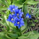 27476595 flower07b 150x150 Горные цветы Кавказского заповедника