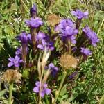 27476982 flower08 150x150 Горные цветы Кавказского заповедника