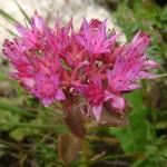 27477233 flower15a 150x150 Горные цветы Кавказского заповедника