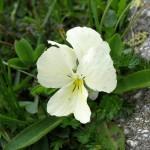 27478711 flower57c 150x150 Горные цветы Кавказского заповедника