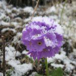 3818311 large 1 150x150 Горные цветы Кавказского заповедника