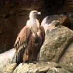 4860b422e 1 150x150 Животные Кавказского заповедника