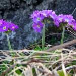 573606 original 150x150 Горные цветы Кавказского заповедника