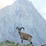 7c49dc25 150x150 Животные Кавказского заповедника