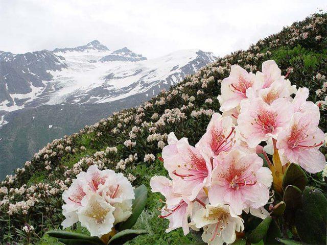 85967585 4316166 rododendron 640x480 Растения КГПБЗ