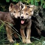 9474980ef2ad 150x150 Животные Кавказского заповедника