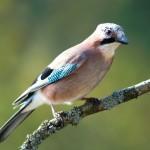 Bird 5 150x150 Животные Кавказского заповедника