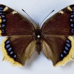 Nymphalis antiopa 150x150 Животные Кавказского заповедника
