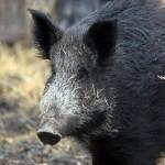 TASS 557397 150x150 Животные Кавказского заповедника