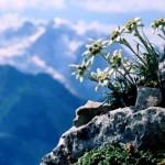 c8e326f34a05ae7a2c19df58f834756abc81cc86880500 150x150 Горные цветы Кавказского заповедника