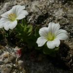 flower04 150x150 Горные цветы Кавказского заповедника