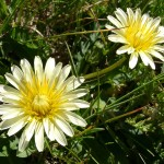 flower30 150x150 Горные цветы Кавказского заповедника