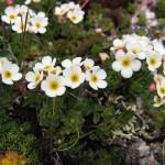 flower34b 150x150 Горные цветы Кавказского заповедника