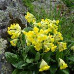 flower 6b 150x150 Горные цветы Кавказского заповедника