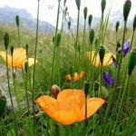 flowers1 150x150 Горные цветы Кавказского заповедника