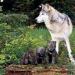 Волчица с волчатами фото 768x576 150x150 Семейство собачьи на Кавказе. Что мы о них знаем?