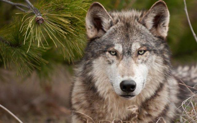821c72aee49be1a36a448d39eacabade 640x400 Семейство собачьи на Кавказе. Что мы о них знаем?