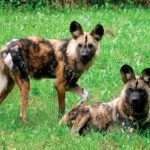 gienovaja sobaka 150x150 Самые красивые собачьи
